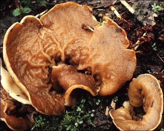 Quel est ce champignon de printemps appelé aussi  oreille de cochon  ?