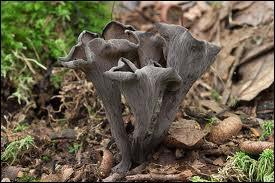 Qu'est ce que le craterellus cornucopioides ?