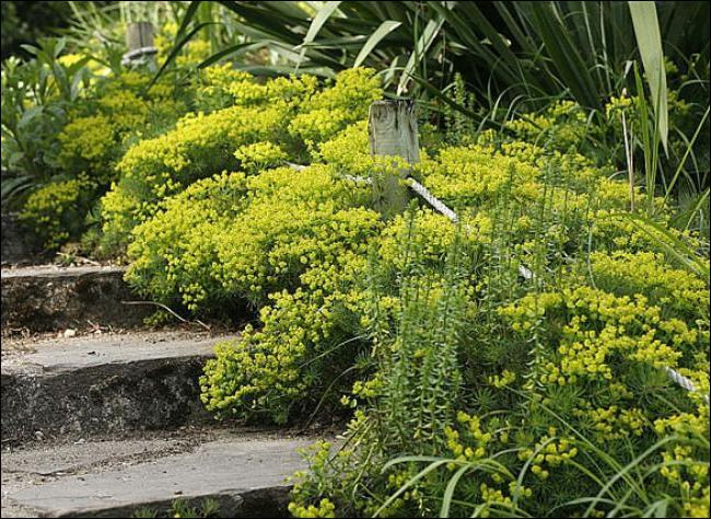 Cet arbuste produit de jolies fleurs printannières :