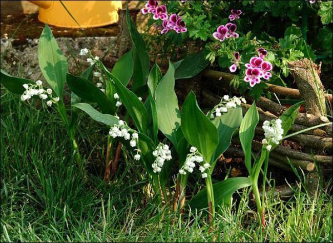 Cette fleur blanche est-elle toxique ?