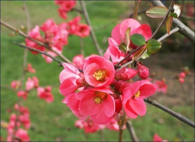 Quizz jolies fleurs de printemps 2 quiz fleurs printemps - Arbuste fleur rouge printemps ...