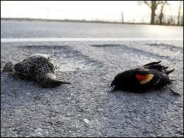 En Roumanie des dizaines d'étourneaux sont tombés ... dans un terrain vague. D'après le vétérinaire ils seraient morts d'intoxication éthylique après avoir abusé du marc de raisin.