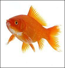 Et non ! On continue un peu avec ce poisson rouge !