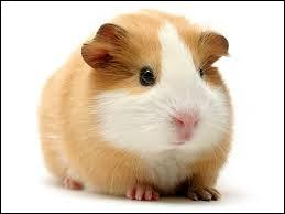 Et le cochon d'Inde !