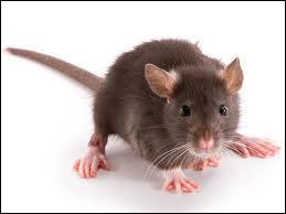 Après la souris... le rat !