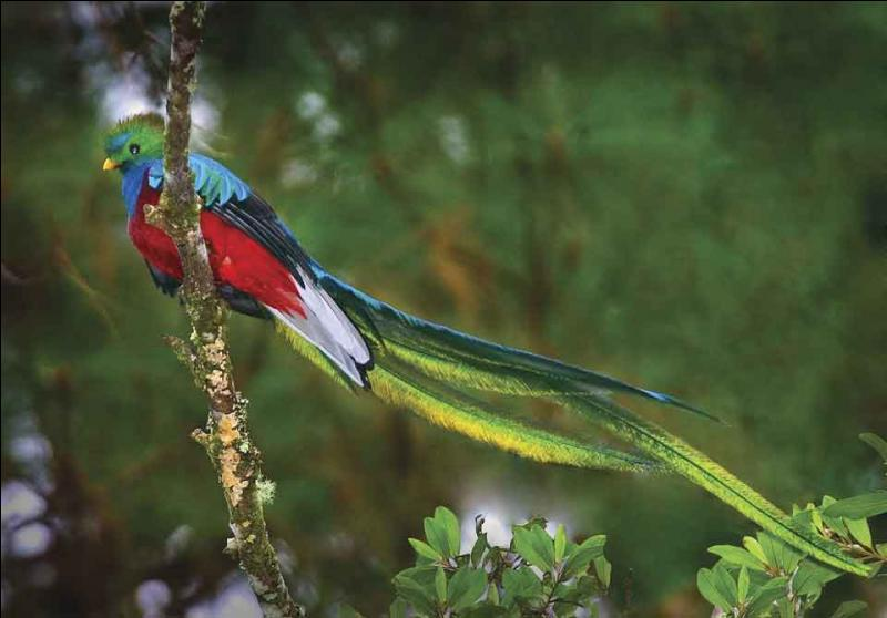 Oiseau sacré pour les Mayas et les Aztèques. Symbole de liberté : il meurt si on le met en cage ! Unité monétaire du Guatemala !