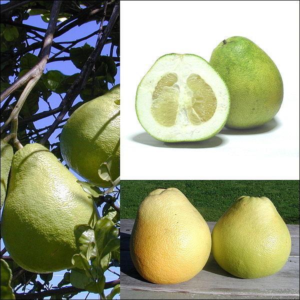 Agrume, fruit du 'Citrus maxima' ! Ne pas confondre avec le fruit de l'hybride 'Citrus & paradisi' qui est le pomélo !