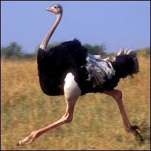 Inapte au vol, cet oiseau est excellent à la course !