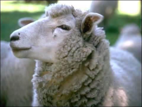 Quel animal a son manteau de laine sur le dos ?