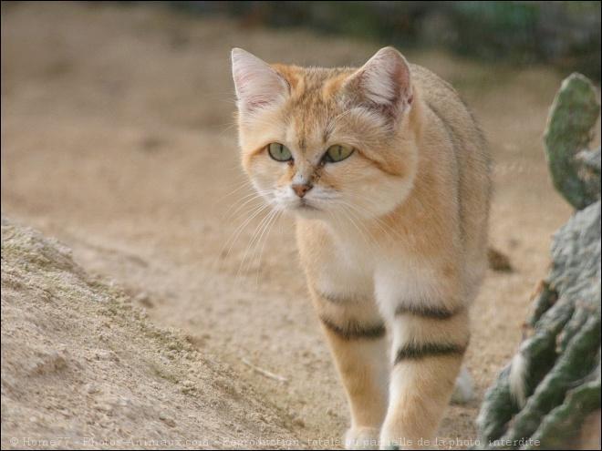 Quiz sur les f lins quiz animaux felins - Chat des sables a vendre ...