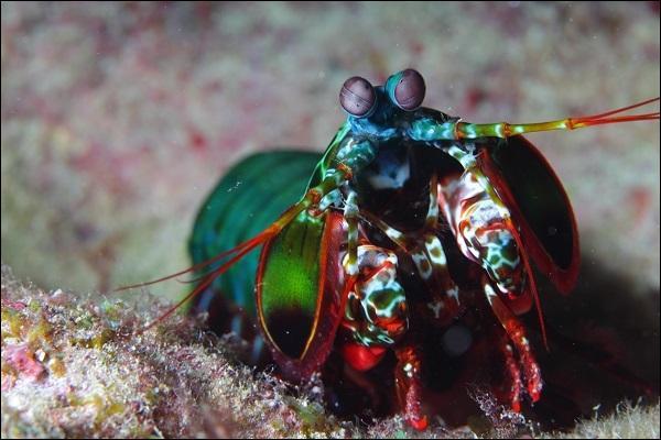 Cet étrange crustacé a une méthode particulière pour chasser, il assomme ses proies, on l'appelle le crabe tambour !