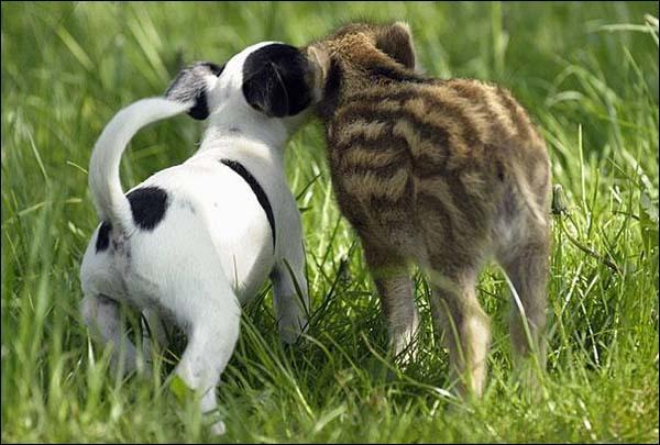 Ce petit chien s'est fait un ami, un marcassin !