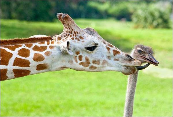 Sachant que ces deux animaux vivent sur le même continent, j'en conclus que l'oiseau est un émeu !