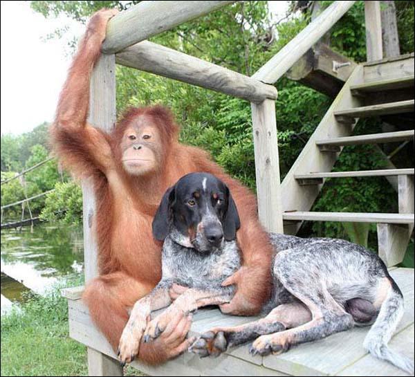 Un gorille peut devenir l'ami d'un chien, la preuve sur cette photo !
