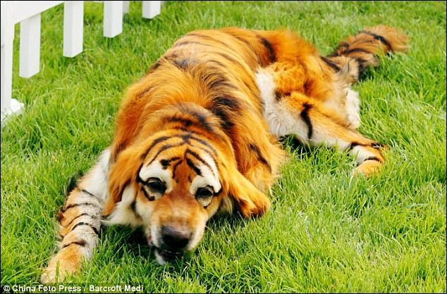 On vient d'obtenir un croisement entre une tigresse et un chien-loup !