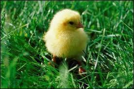 Le petit de la poule est également appelé :