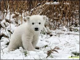 Quel nom a-t-on donné au petit de l'ours ?