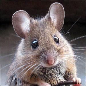 Trouve le nom de ce personnage Disney, qui s'appela tout d'abord Mortimer !