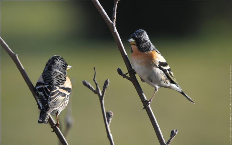 Le chant du pinson et tout aussi joli que son plumage. Que fait-il ?