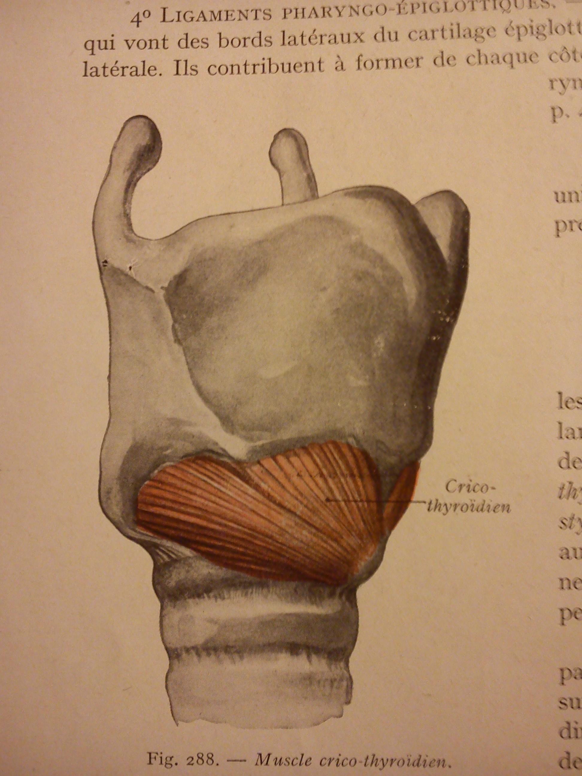 Anatomie du larynx