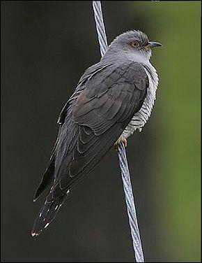 Oiseau parasite qui pond ses œufs dans le nid d'une autre espèce !