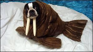 Ce chien, lui, est déguisé en éléphant de mer !