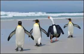 Sur cette photo, tu peux voir trois manchots et un canard !