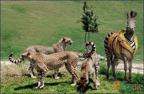 C'est une première mondiale, au zoo de Vincennes, on vient de réussir à croiser une femelle guépard et un zèbre mâle !