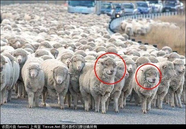 Les deux moutons entourés en rouge sont des béliers !