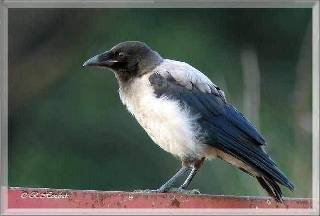 Quizz oiseaux identifier quiz photos oiseaux for Oiseau gris et blanc
