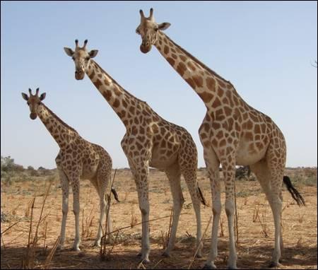 Combien d'heures par jour une girafe doit-elle dormir ?