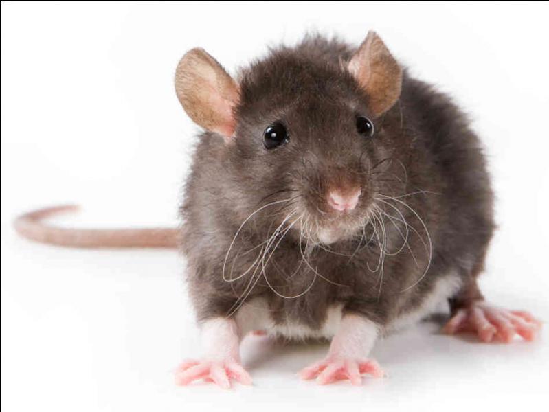 Combien d'heures par jour un rat doit-il dormir ?