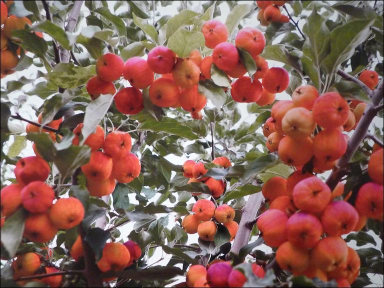 Et pour terminer, ces petits fruits, ancêtres de nombreuses variétés, dont une expression précise qu'elles peuvent vous emmener au pays des songes !