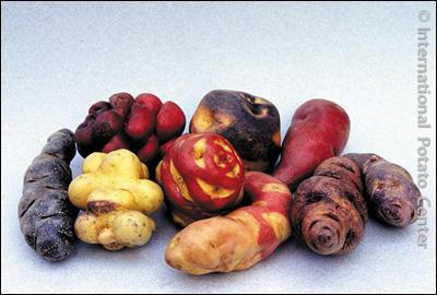 Ces tubercules ont un aspect qui ne nous est pas vraiment familier, pourtant nous en consommons une variante depuis des siècles !