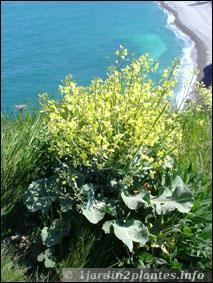 Cette plante est à l'origine de nombreuses variétés, et si vous ne trouvez pas son nom, une expression vous précise que vous êtes dedans !