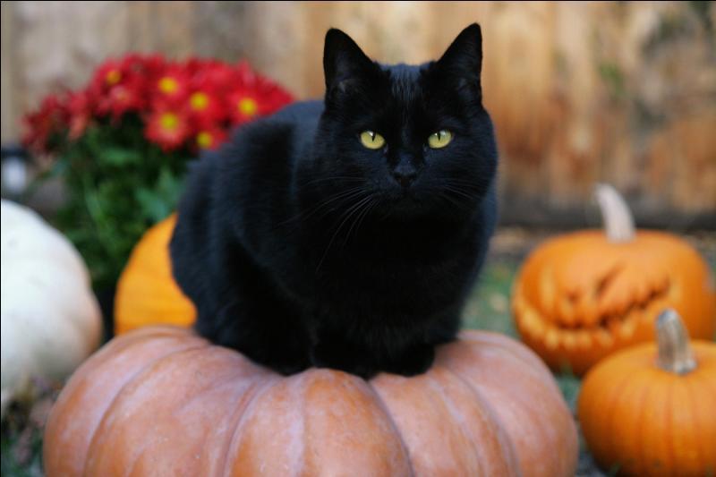 Cet adorable chat noir appartient à quelle race ?