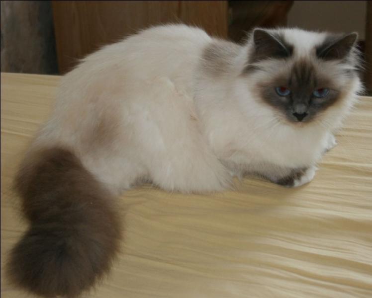 Et ce mignon petit chat, tout doux, qu'on a envie de prendre dans ses bras est un :