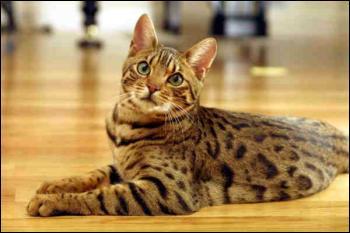 Celui-ci ressemble beaucoup à l'autre juste au-dessus. Pourtant ce n'est pas la même race... Donc ma question est : quelle est la race de ce chat ?