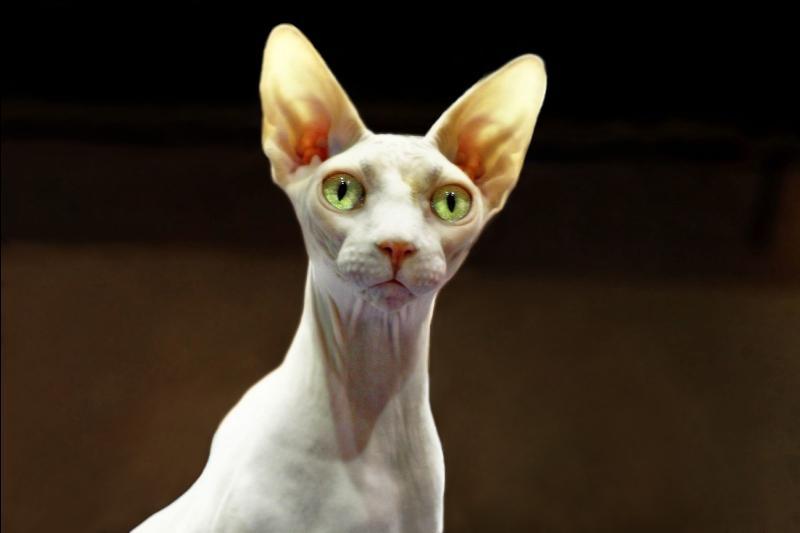 Et on va finir en beauté (sans mauvais jeu de mots) avec un chat pour le moins spécial. Ci-contre nous pouvons admirer un :