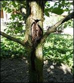 Par quoi est provoquée l'échaudure, blessure atteignant l'écorce des arbres ?