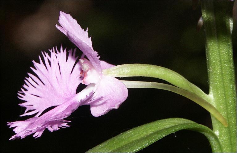 Quelle est la caractéristique de la forme de cette fleur ?