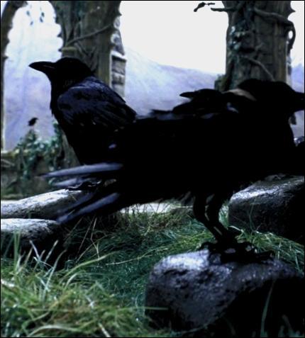 Sentant la décapitation arriver, des dizaines de corbeaux s'amassent près du potager. Ils pincent Harry comme ils ont pincé Melanie Daniels, héroïne d'un thriller de :