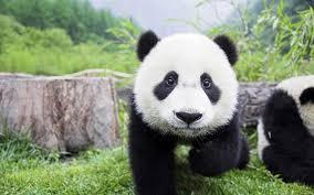 Cet animal de Chine : Le panda