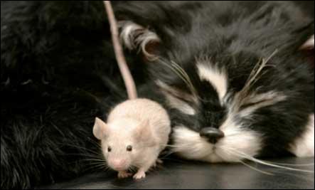 La petite souris court aussi vite qu'elle peut, car elle est (poursuivre) par un énorme chat.