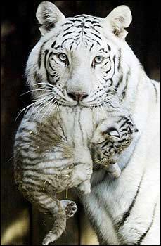 Pourquoi le tigre blanc du Bengale a-t-il le pelage de cette couleur ?