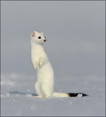 Quel est le nom de ce petit animal bien camouflé dans cette neige immaculée ?