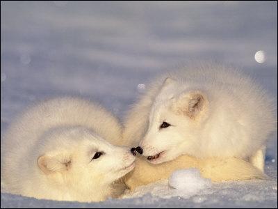 A quelle température peut résister un renard polaire ?