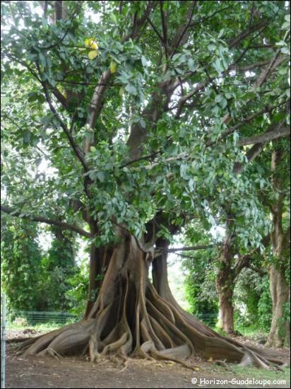 Quel arbre des régions tropicales fournit le Kapok, fibre légère utilisée autrefois pour rembourrer les coussins ?