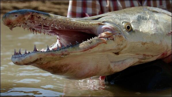 C'est un plaisir et une joie de vous présenter ce reptile, l'alligator !