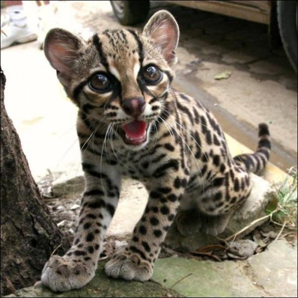 Comme vous le savez certainement, c'est en Afrique que l'on peut encore photographier ce bébé ocelot !